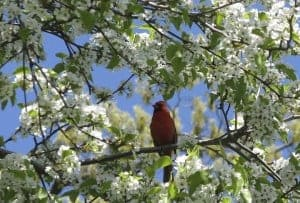 The cardinal sings