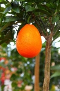 growing_orange_on_tree_187928